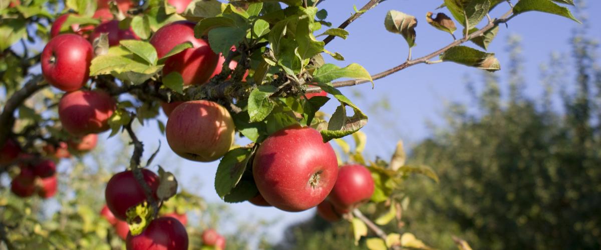 の 木 りんご